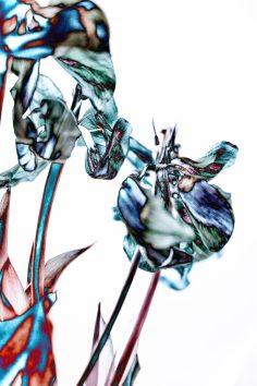 Solarisation - verwelkte Tulpen